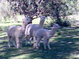 Alpacas in our midst!
